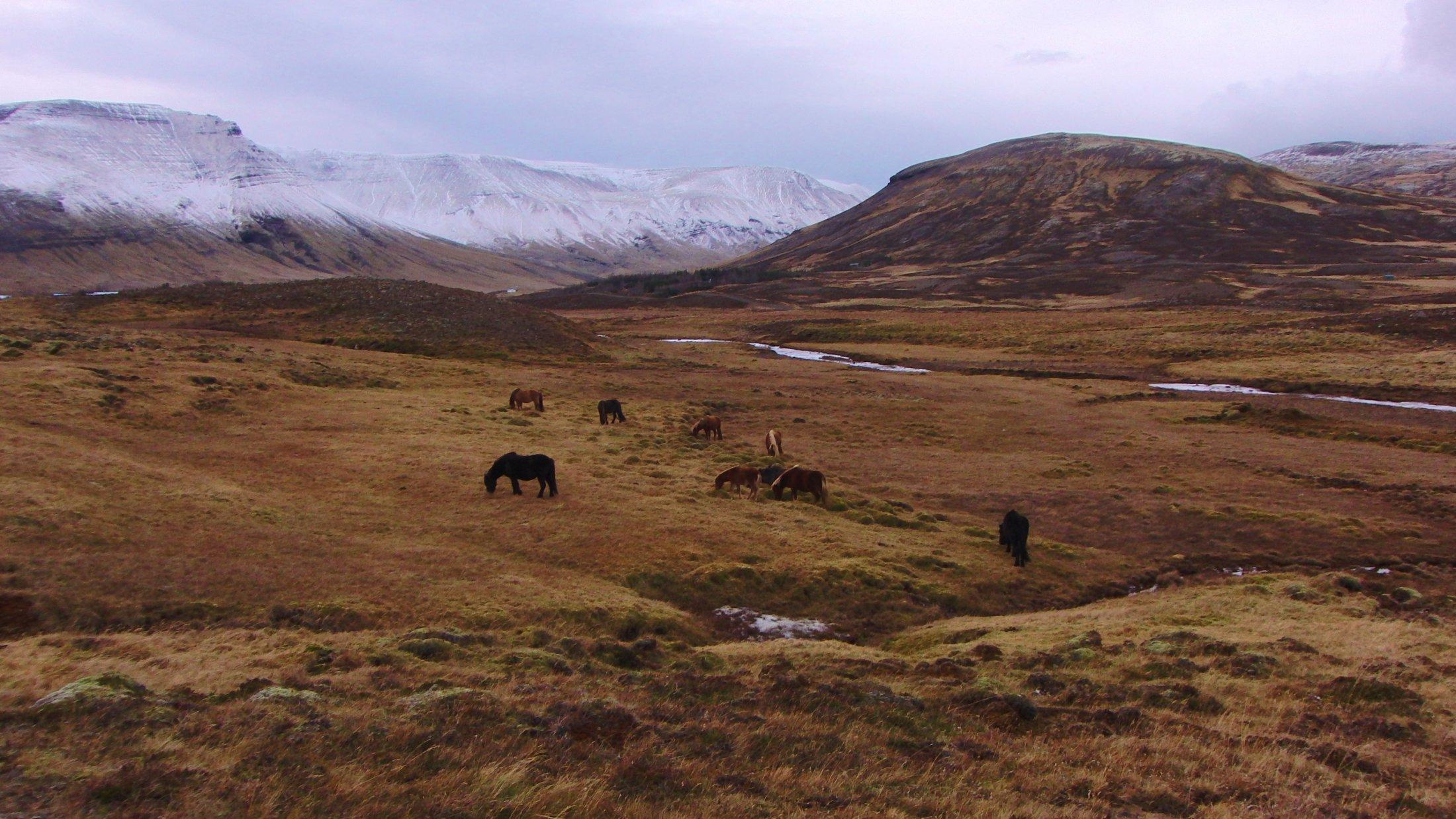 Marie Heidenreich: Islandpferde in freier Wildbahn