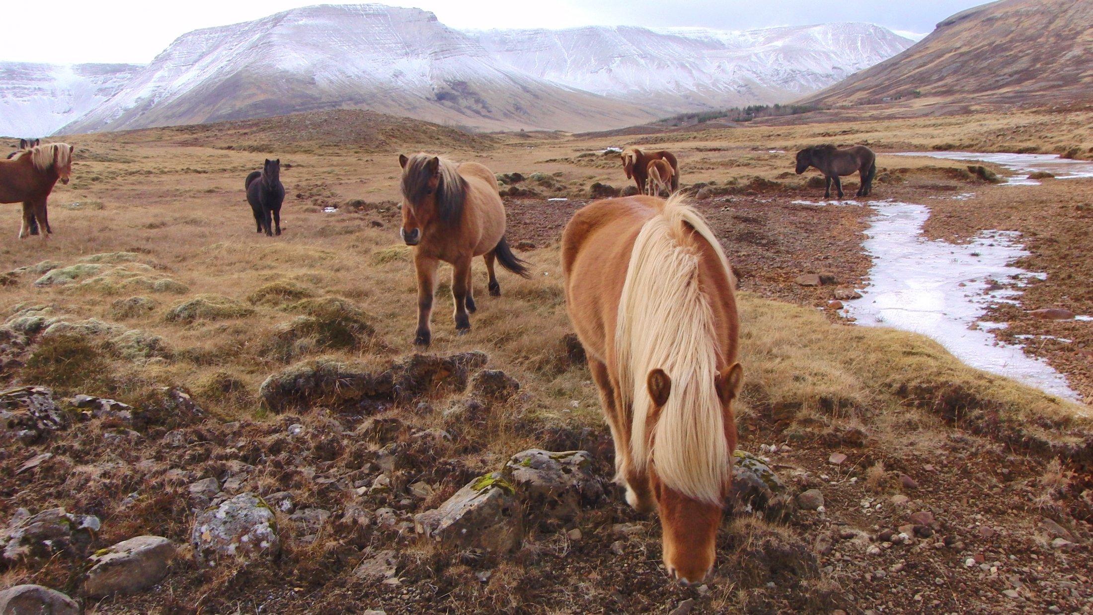 Marie Heidenreich: Islandpferde